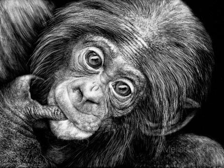 Bonobo   Endangered Species Series