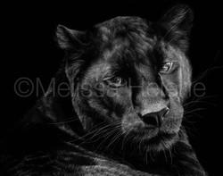Panther, Black 3 (wm)
