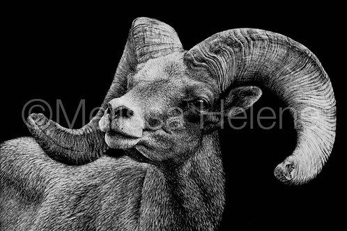 Bighorn Sheep | Reproduction