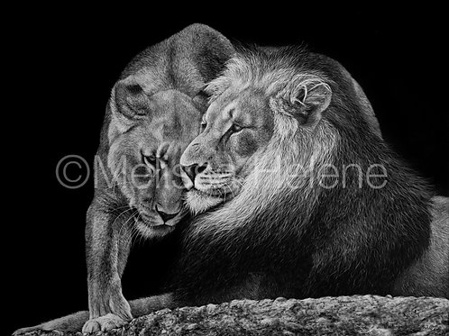 Always Faithful - African Lions | Reproduction