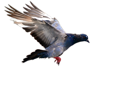 Flying pigeon - 960x600.png