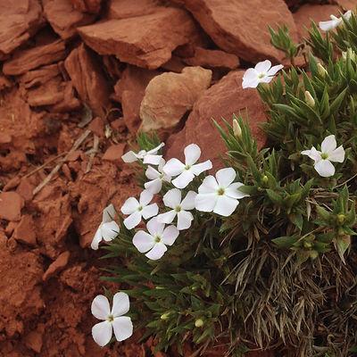 Wild Flowers Southern Utah Happy Trails Adventure