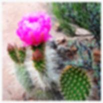 Southern Utah Blooming Cactus Happy Trails Adventure
