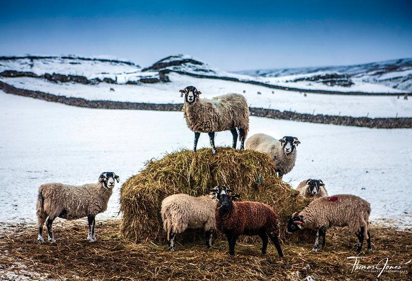 Swaledale Sheep | Malhamdale