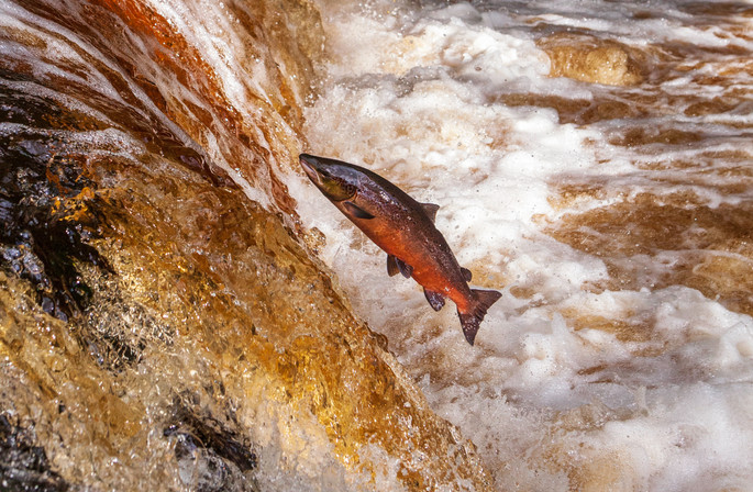 leaping salmon.jpg