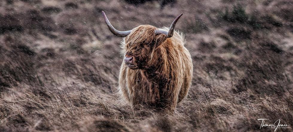 Highland Cow 2.jpg