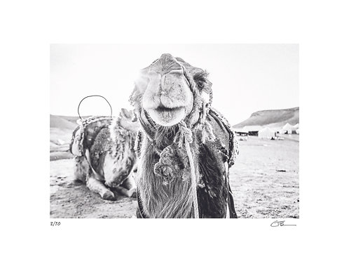 Charlie the Camel : Morocco