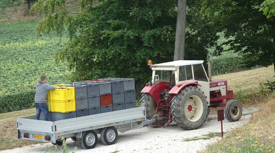 Creates full of Pino Noir grapes being transported to the press