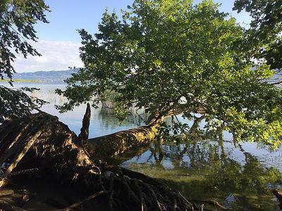Baum am Genfersee
