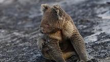 koalas to NZ SBS news.png