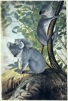 koala3 (1).jpg