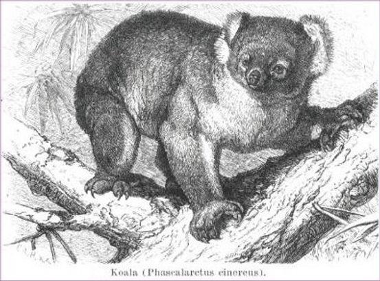 koala15.jpg