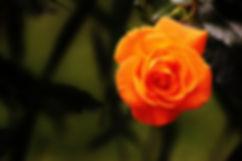 rose-1503881_1920.jpg