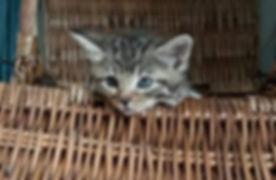 Baby Kitten in a Basket