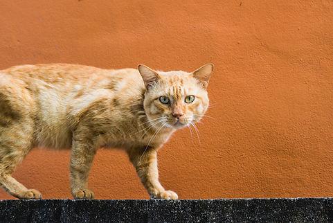 Gato andando