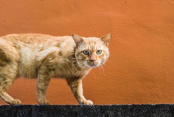 FERAL HOUSE CAT - INVASIVE