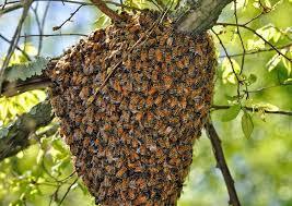 Why Do Honey Bees Swarm?