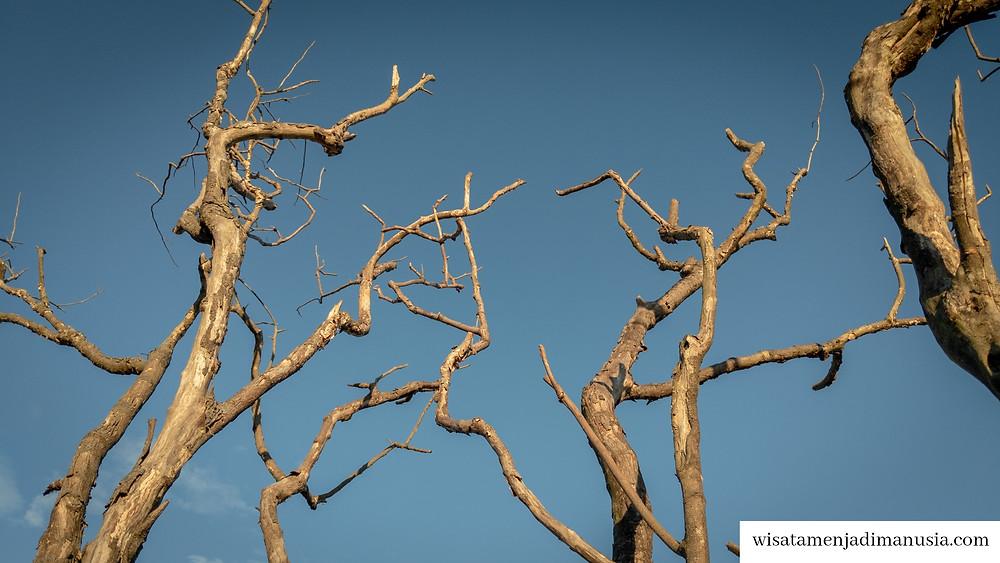 Ranting Pohon Mati yang mengeluarkan bunyi-bunyian unik ketika terkena angin