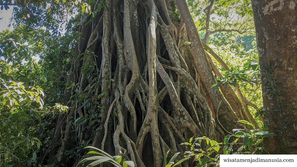 Akar Magis Pohon Tua dan Besar