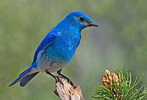 Nevada State Bird
