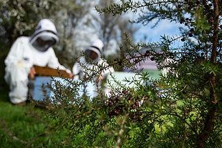 Bee keepers extracting Manuka honey Comvita