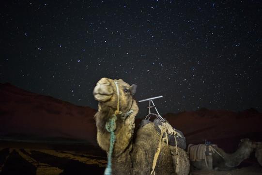 Camel Zagora Morocco
