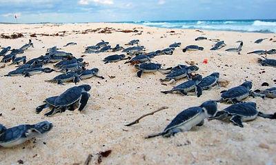 Conservación de la tortuga en Costa Rica - Viajes Olmeca