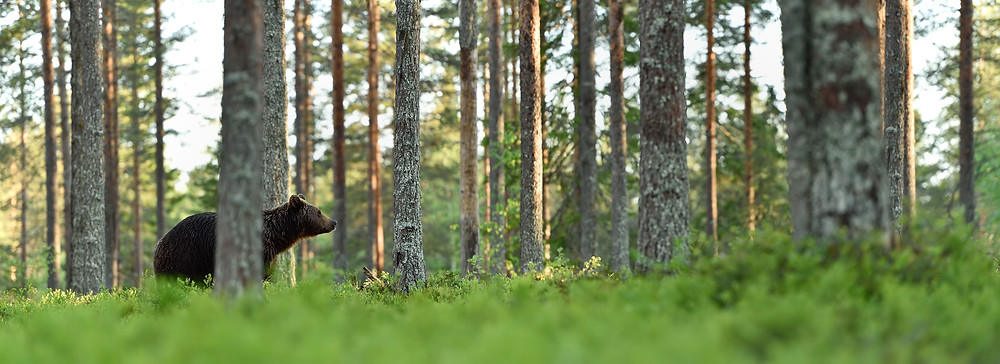 Black bear in the pine trees