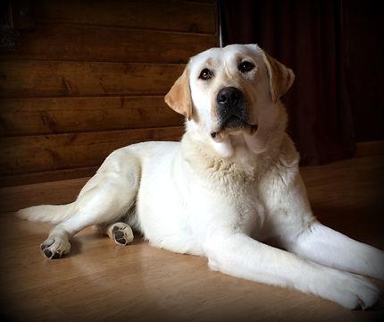 White Lab I White Lab Puppies I White Lab Breeder I English Lab Puppies I English Lab Breeder I Idaho Lab Breeder