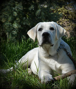 Idaho Lab Breeders I Lab Puppies I Labrador Breeder I English Lab Puppies I English Lab Breeder I Idaho Lab Breeder