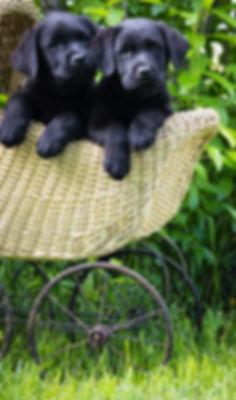 English Lab I English Lab Puppies I English Lab Breeder I English Lab Puppies I English Lab Breeder I Idaho Lab Breeder