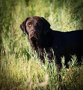 English Lab I Chocolate Lab Puppies I Lab Breeder I English Lab Puppies I English Lab Breeder I Idaho Lab Breeder
