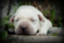 lab breeder idaho, lab puppies idaho, lab puppy idaho, white lab puppy