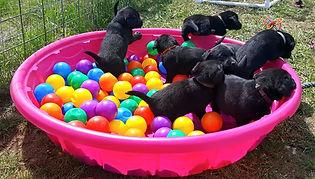 Idaho Lab Breeders I Lab Puppies I Labrador Breeder I English Lab Puppies I English Lab Breeder I Idaho Lab Breeder