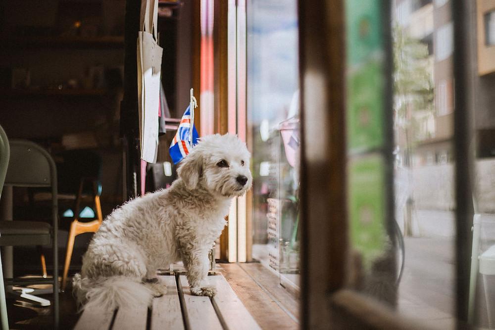 Pink Iceland office dog Smurfdog