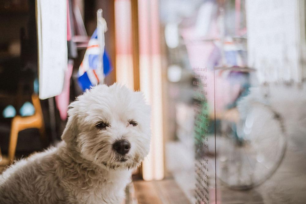 Strumpur, Pink Iceland's office dog