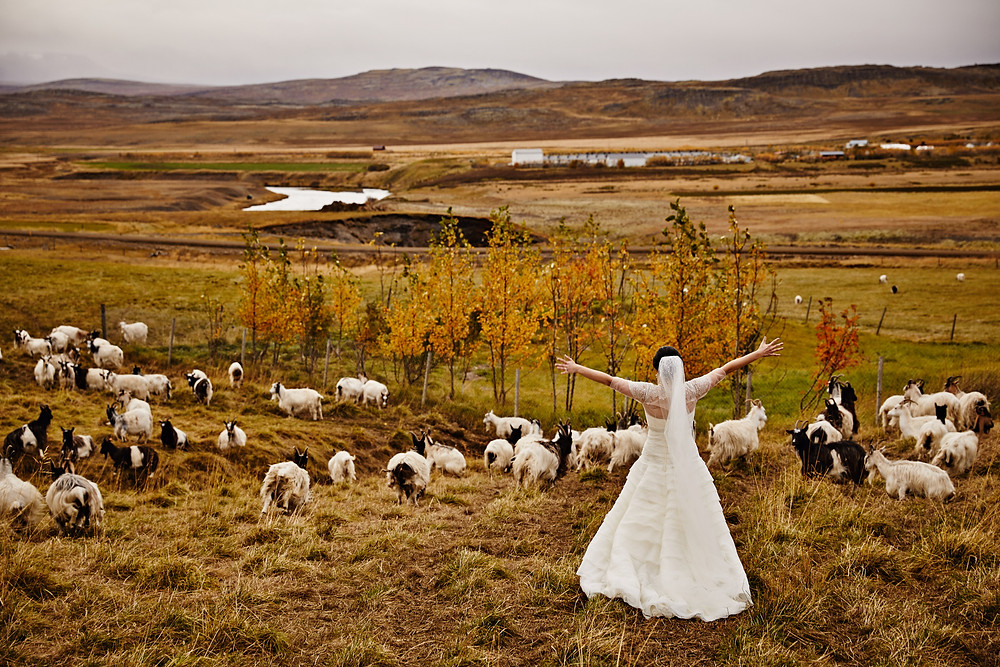 Iceland goat wedding photos at Haafell goat farm