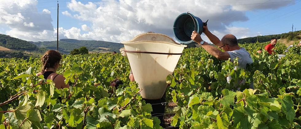 harvest in Burgundy