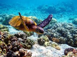 Hawaiian-Desktop-Wallpaper-Turtle-in-Hawaii-Underwater_edited