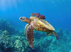 sea-turtle-underwater-mm-sweet