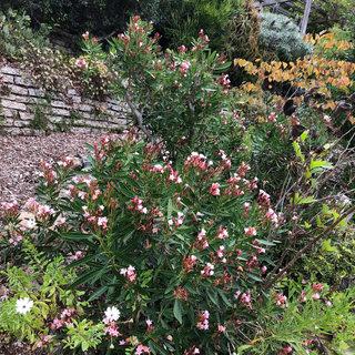 Pink-Oleander.jpg