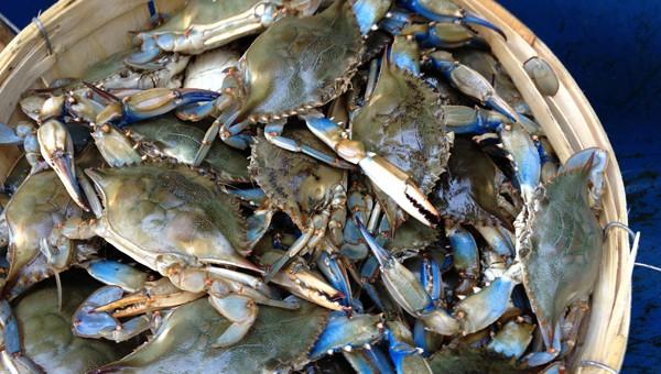 Virginia Blue Crabs