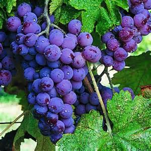Chesapeake Bay Wine Trail