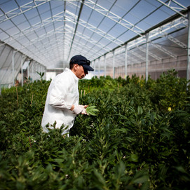 Cannabinoids are the next big thing in the pot industry. But who can mass produce them?