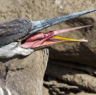 Heron Tongue