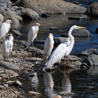 Egrets in Puerto Rico
