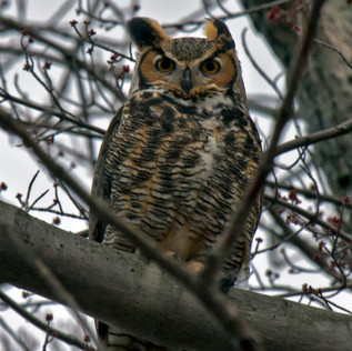 Great Horned Owl at Braddock Bay