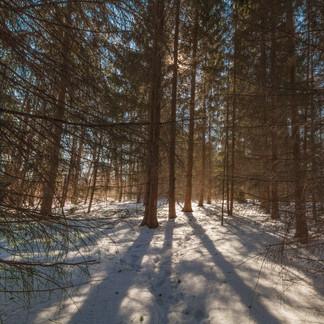 Sunshine Through the Pines