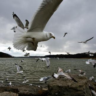 Gulls at Irondequoit Bay