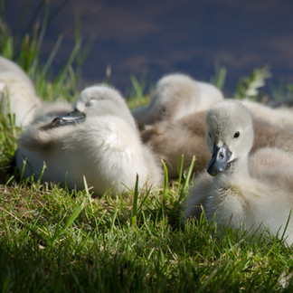 Baby Swans at Fair Haven State Park, NY